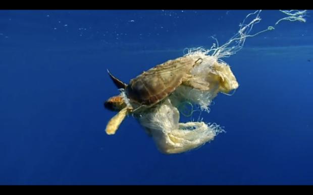 sea turtle caught in plastics