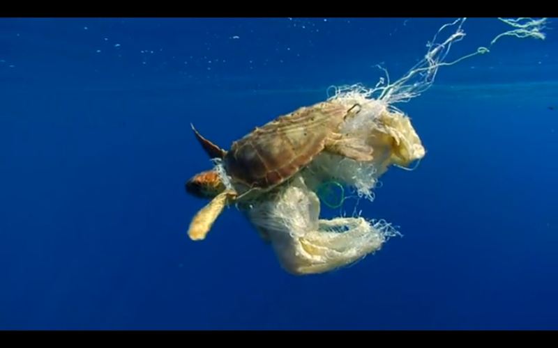 sea turtle caught in plastics